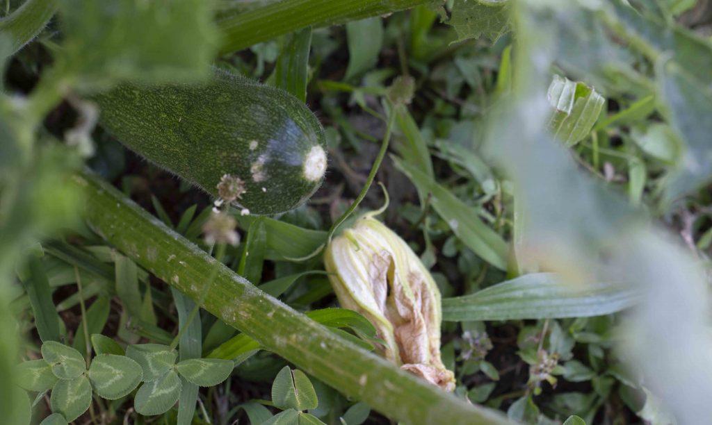 zucchina primo orto